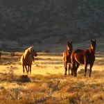 Horses Near Simpson Springs